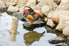 Male mandarin duck standing near a lake with reflection on water. Royalty Free Stock Photos