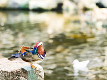 Male Mandarin duck. Standing near the pond Royalty Free Stock Images