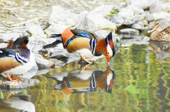 Male mandarin duck standing near a pond and drinking water with reflection. Stock Photo