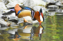 Male mandarin duck standing near a pond and drinking water with reflection. Male mandarin duck standing near a pond and drinking water with reflection itself Royalty Free Stock Images