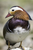 Male mandarin duck with striking plumage. Male mandarin duck (Aix galericulata) with striking plumage. Standing on a rock with head in perfect profile Stock Images