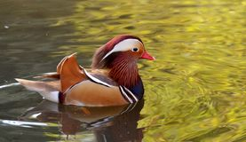 Male Mandarin Duck swimming Stock Photo