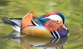 Male mandarin duck swimming on green water. Stock Images