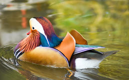 Male mandarin duck swimming on green water. Royalty Free Stock Photography