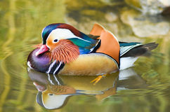 Male mandarin duck swimming with reflection on green water. Closeup stock photos