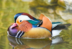 Male mandarin duck swimming with reflection on green water. Stock Photography