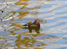 Male mandarin duck swimming in the water. Photo of a male mandarin duck swimming in the water Royalty Free Stock Photos