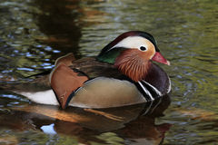 Male Mandarin Duck on the Water Royalty Free Stock Photos