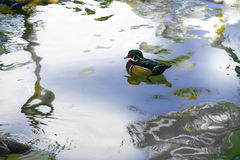Male Mandarin duck, Zoo Series, nature, animal Royalty Free Stock Images