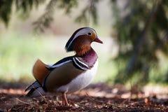The male mandarin ducks Stock Image