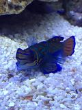 Mandarin marine fish. Male mandarin goby marine fish Royalty Free Stock Image