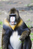 Male mandrill Royalty Free Stock Image
