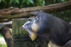 Male Mandrill Portrait Stock Images