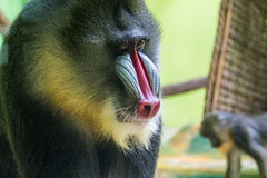 Male Mandrill with Red and Blue Face Markings. Extreme Close Up of Face of Male Mandrill Old World Primate Monkey with Colorful Red and Blue Face Markings and Royalty Free Stock Photo
