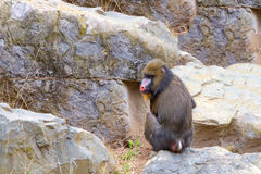 Male mandrill sitting in rocks Royalty Free Stock Image