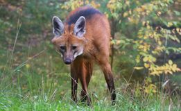 Maned wolf stock image