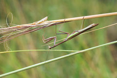 Male mantis Royalty Free Stock Photo