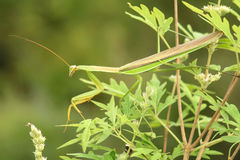Male mantis Royalty Free Stock Photography