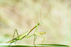 Male mantis Royalty Free Stock Images