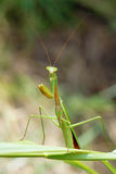 Male mantis Stock Images