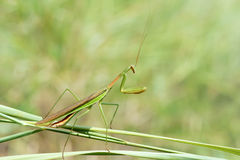 Male mantis Stock Photo