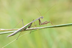 Male mantis Royalty Free Stock Photos