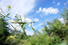 Male mantis Stock Photos