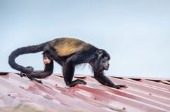 Mantled howler in Tortuguero National Park, Costa Rica. Male Mantled howler Alouatta palliata, or golden-mantled howling monkey running on the roof of the lodge Royalty Free Stock Photo