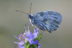 Male Marbled white Stock Photo