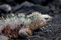Male Marine Iguana Royalty Free Stock Images