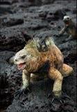 The male of the marine iguana. Stock Photography