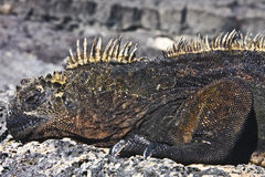 Male of marine iguana. (Amblyrhynchus cristatus) from Galapagos islands (Ecuador Royalty Free Stock Photo