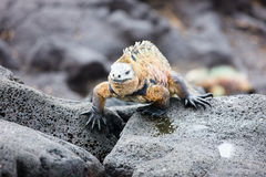Male marine iguana Stock Photo