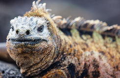 Male marine iguana. Close up portrait of male marine iguana, endemic of Galapagos islands, Ecuador stock photography