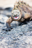 Male marine iguana Stock Image