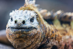 Male marine iguana. Close up portrait of male marine iguana, endemic of Galapagos islands, Ecuador royalty free stock photography