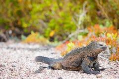 Male marine iguana royalty free stock photography