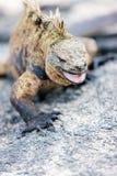 Male marine iguana Stock Photography