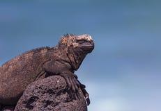 Male Marine Iguana on a Lava Rock Stock Photos