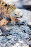 Male marine iguana Royalty Free Stock Photos