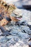 Male marine iguana Royalty Free Stock Photos