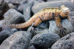 Male marine iguana stock photos