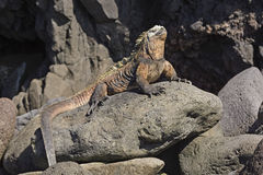Male Marine Iguana on a Rocky Outcrop Stock Images