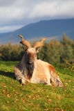 Male Markhor. Sitting on grass Royalty Free Stock Photo