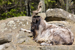 Male Markhor, Capra falconeri, with twisted horns royalty free stock images
