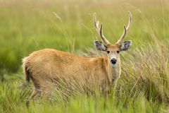 Male Marsh Deer Blastocerus dichotomus. In tall grass stock image