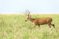 Male Marsh Deer Blastocerus dichotomus Stock Image