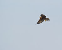 A male Marsh Harrier halts his flight Stock Photo