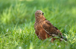 The male of the marsh harrier is sitting on the meadow and is lo. Poland in May.The male of the marsh harrier is sitting on the meadow and is looking to the back Royalty Free Stock Photos