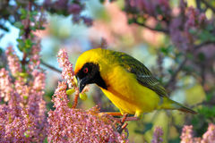 Male masked weaver Royalty Free Stock Photography